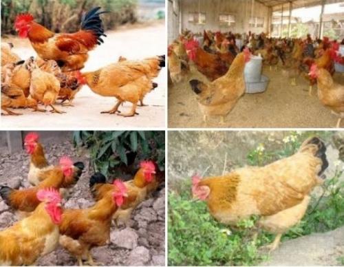 Kỹ thuật nuôi gà Tàu Vàng