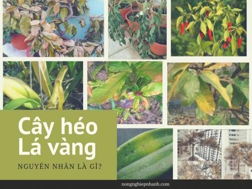 Cây cảnh bị héo lá - nguyên nhân do đâu?, 195, Huyền Nguyễn, Nông Nghiệp Nhanh, 16/06/2017 09:59:04