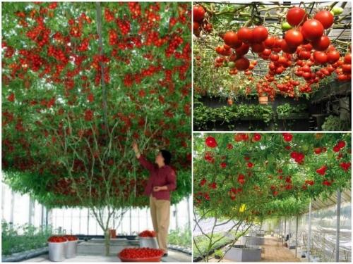 Hướng dẫn chi tiết từng bước trồng cà chua leo giàn, 196, Phương Thảo, Nông Nghiệp Nhanh, 22/06/2017 09:37:49