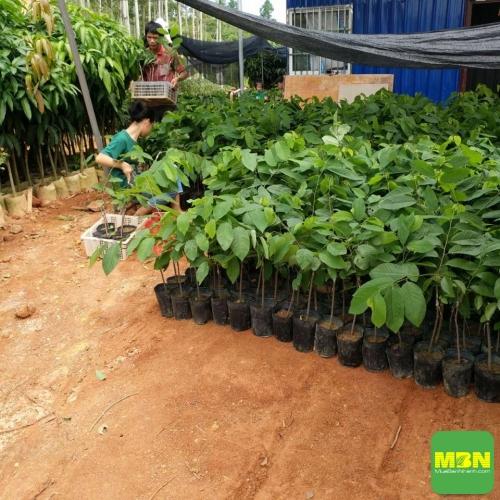 Kỹ thuật trồng, chăm sóc cây na bở, mãng cầu Đài Loan cho năng suất cao bà con nên biết, 201, Mãnh Nhi , Nông Nghiệp Nhanh, 30/06/2020 09:14:33