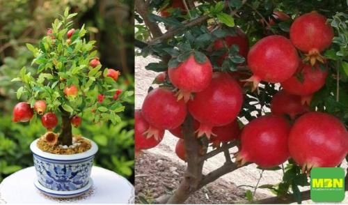 Kỹ thuật trồng cây lựu đỏ lùn trong chậu làm cảnh tại nhà, 202, Mãnh Nhi , Nông Nghiệp Nhanh, 02/08/2018 16:36:59