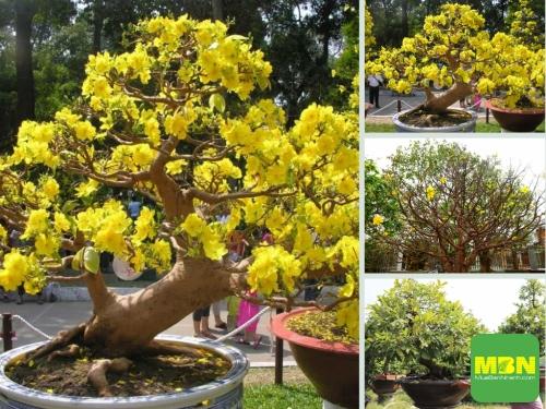Dịch vụ chăm sóc mai sau Tết - mai vàng, bonsai, nhất chi mai, mai ghép, mai đỏ, mai trắng, mai kiểng trong chậu, 211, Hải Lý, Nông Nghiệp Nhanh, 05/02/2021 17:16:09