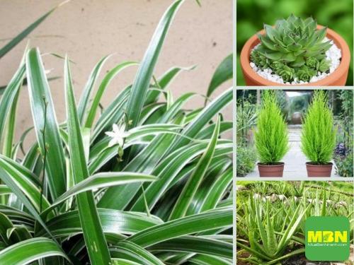 Top 10 loại cây trồng chậu giúp thanh lọc không khí nhà, văn phòng trên Nông Nghiệp Nhanh, 212, Hải Lý, Nông Nghiệp Nhanh, 08/03/2021 13:43:31