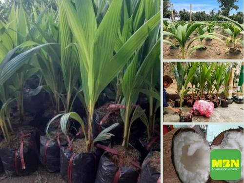 Top các giống dừa xiêm dừa khô có giá trị kinh tế cao trên Nông Nghiệp Nhanh, 216, Hải Lý, Nông Nghiệp Nhanh, 08/04/2021 15:40:16