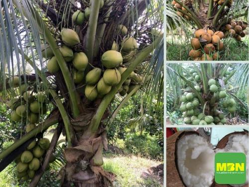 Top các loại dừa xiêm uống nước ngon nhất bán chạy nhất tại Nông Nghiệp Nhanh, 218, Hải Lý, Nông Nghiệp Nhanh, 08/04/2021 15:48:59
