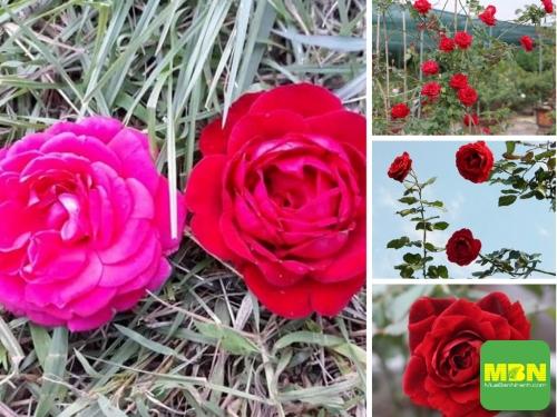 Giá hoa hồng cổ Hải Phòng nguyên bản, đột biến, ghép - Nông nghiệp nhanh tư vấn mua hoa hồng leo đẹp, 220, Hải Lý, Nông Nghiệp Nhanh, 19/04/2021 09:32:31