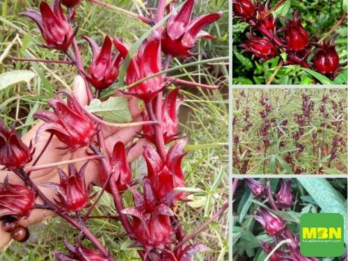 Nông Nghiệp Nhanh giới thiệu nơi chuyên sỉ, lẻ hoa Atiso đỏ tươi, 224, Hải Lý, Nông Nghiệp Nhanh, 24/05/2021 10:40:46