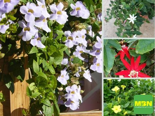 Nông Nghiệp Nhanh giới thiệu Top 25 cây leo có hoa thơm, đẹp quanh năm, 226, Hải Lý, Nông Nghiệp Nhanh, 25/06/2021 11:51:27