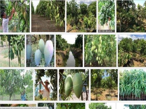 Chia sẻ kỹ thuật trồng Xoài Đài Loan cho năng suất cao, 14, Mai Tâm, Nông Nghiệp Nhanh, 31/10/2016 15:09:59