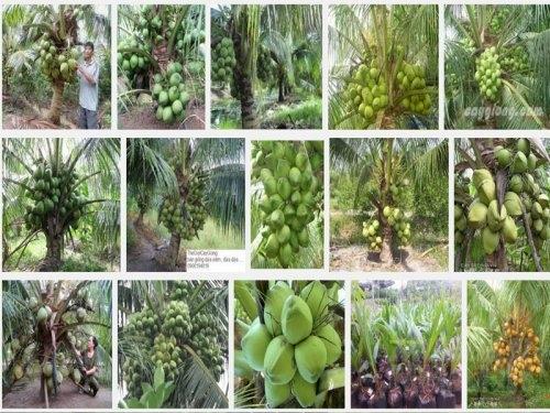 Hướng dẫn kỹ thuật trồng Dừa Xiêm xanh lùn, 77, Mai Tâm, Nông Nghiệp Nhanh, 31/10/2016 11:27:46