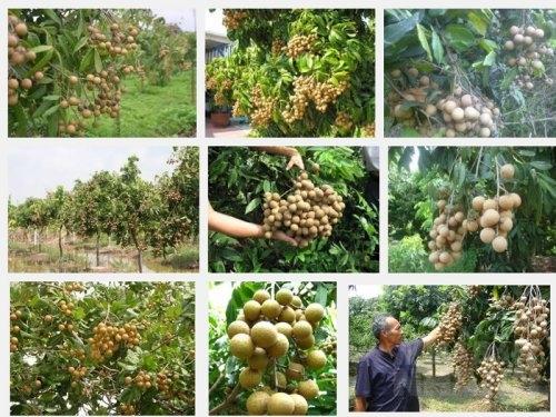 Hướng dẫn kỹ thuật trồng Nhãn muộn, 16, Mai Tâm, Nông Nghiệp Nhanh, 08/11/2016 09:05:09