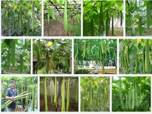 Hướng dẫn kỹ thuật trồng và chăm sóc cây Mướp, 89, Mai Tâm, Nông Nghiệp Nhanh, 31/10/2016 11:13:55