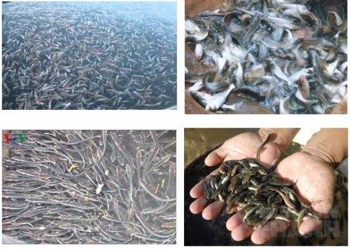 Kỹ thuật chọn cá giống thả cá giống đạt tỉ lệ sống cao, 45, Mai Tâm, Nông Nghiệp Nhanh, 18/02/2017 11:29:37