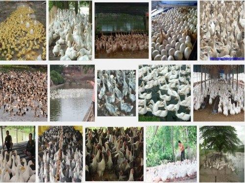 Kỹ thuật chọn giống vịt đẻ, 49, Mai Tâm, Nông Nghiệp Nhanh, 17/10/2016 15:25:38
