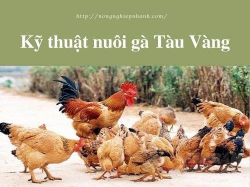 Kỹ thuật nuôi gà Tàu Vàng, 194, Mai Tâm, Nông Nghiệp Nhanh, 24/05/2017 14:47:38
