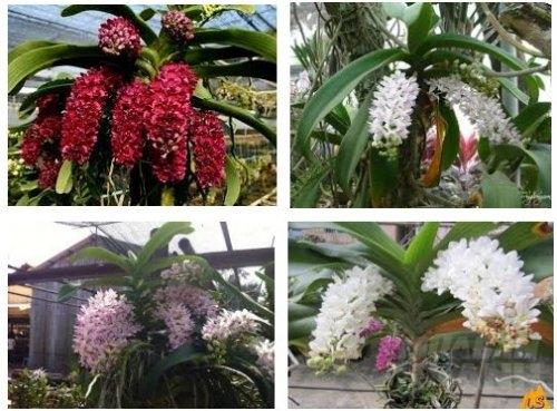 Phương pháp cho lan Ngọc điểm ra hoa đúng tết, 37, Mai Tâm, Nông Nghiệp Nhanh, 18/02/2017 11:32:50